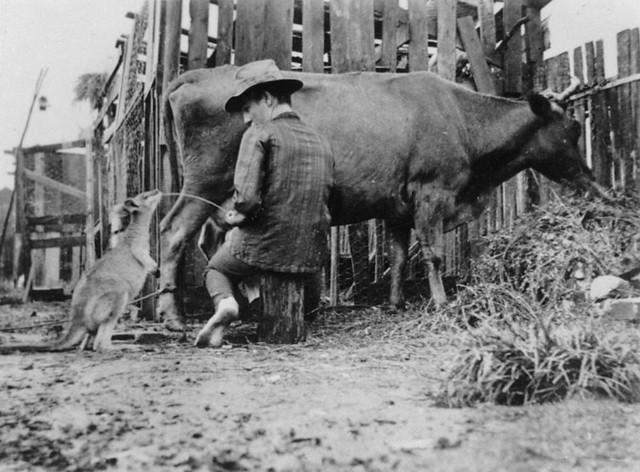 Thirsty wallaby on a Queensland property ca. 1910