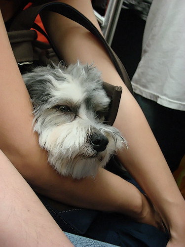tired pup on the subway