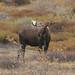 Denali Moose (Stoney Creek) by bud_marschner