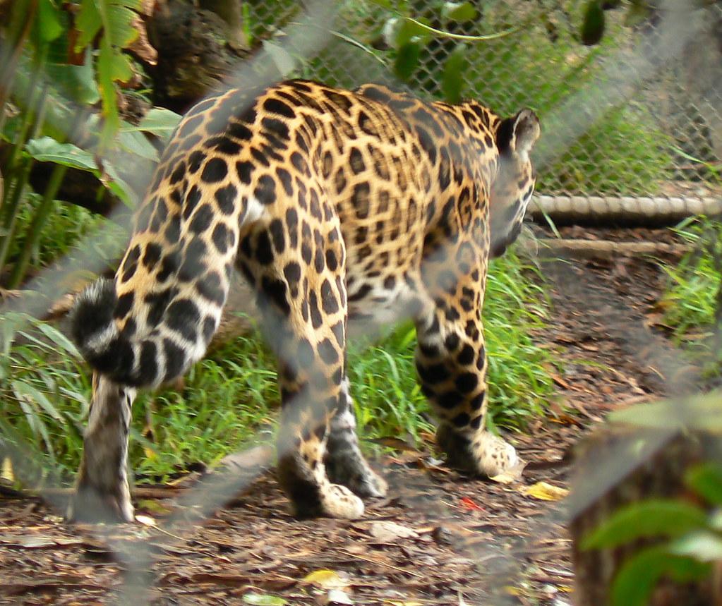 Female Jaguar: This Beautiful Cat Is A Female Jaguar, One