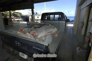 Tubaroes sem barbatana em Majuro