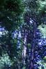 Portola Redwoods-06