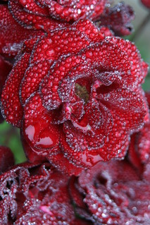 Morning Dew on Roses | by crob