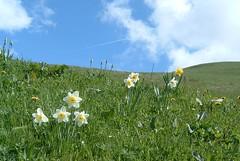 Flowers - Daffodils 127