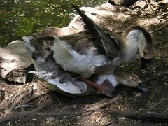 Duck Porn