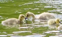 Goslings in the Lake