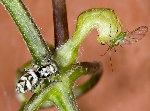zebraspin & bladluis