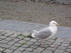 Gwylan, Aberystwyth