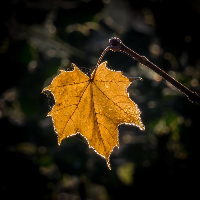Golden Sycamore Leaf
