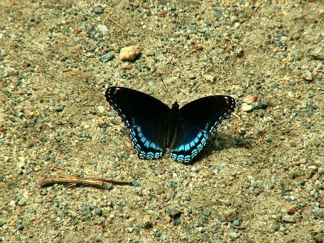 Blue butter fly 2