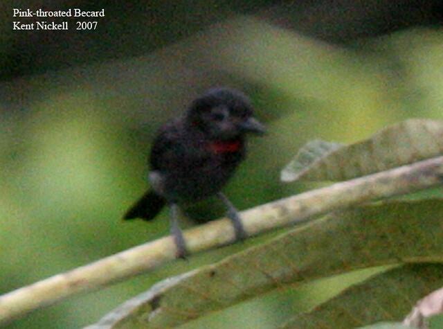Pink-throated Becard (Pachyramphus minor)