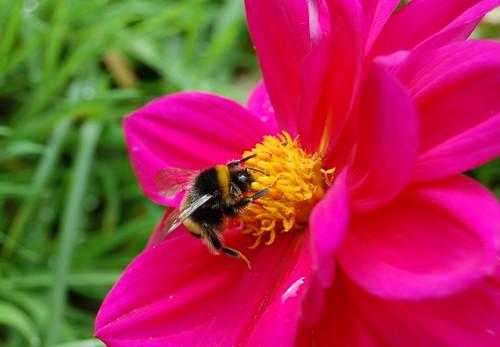 pink dahlia bee   by Vicky Brock
