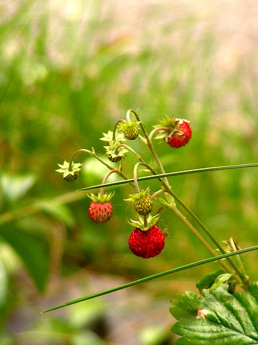 Wild Strawberries In My Backyard | by phunkstarr