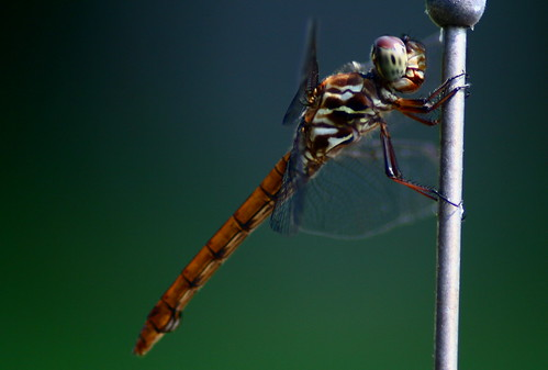 brown macro insect wings colours dragonfly greeneyes spotted aplusphoto