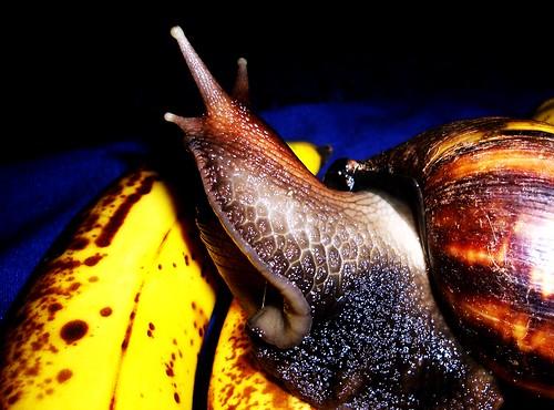 giant snail on bananas 1