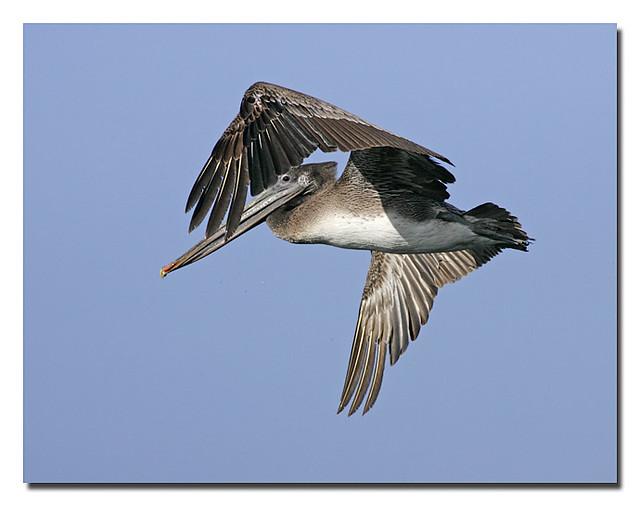 _l4d5602 brown pelican flight8_std