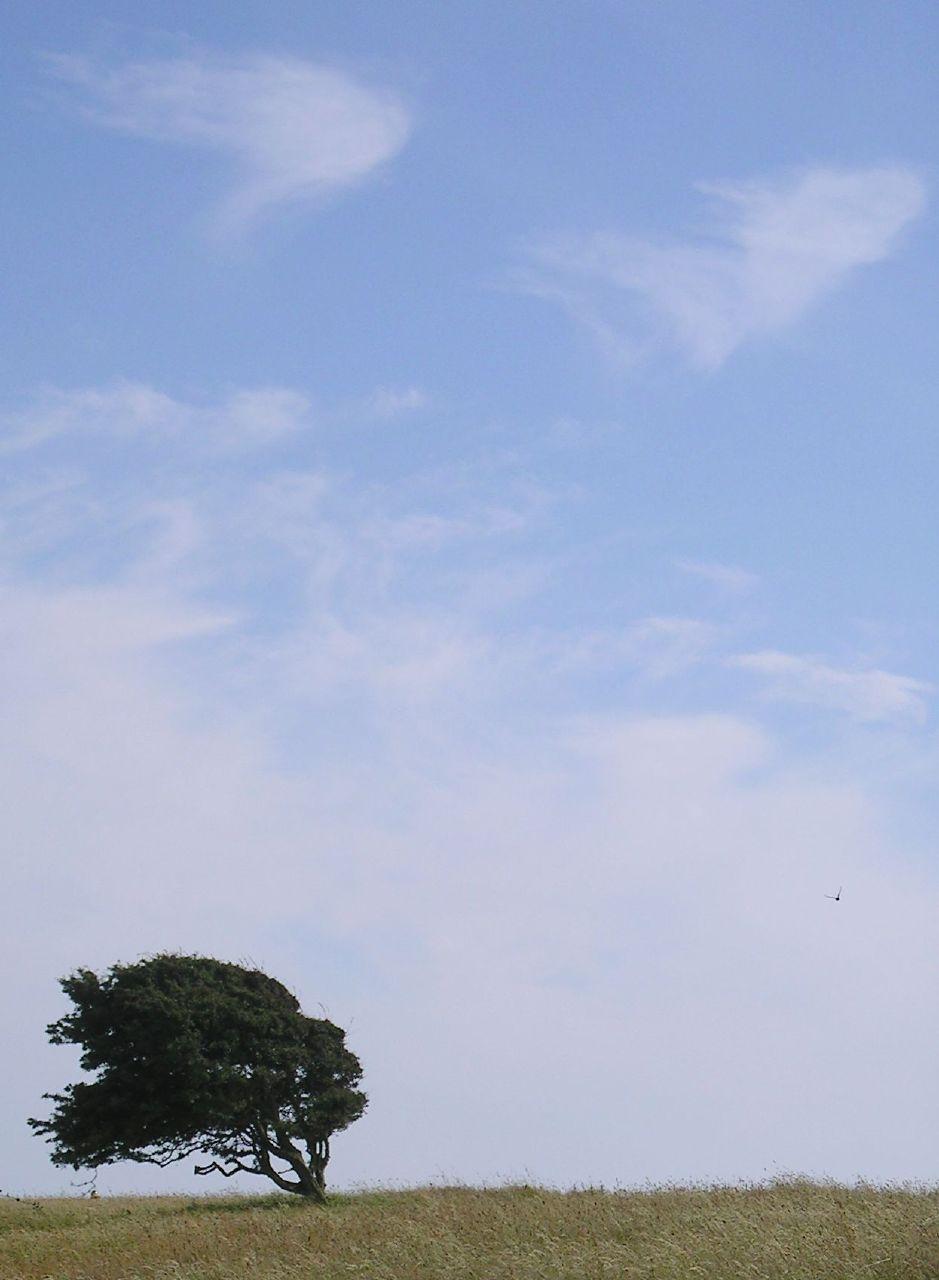Book 2, Walk 27, Berwick to Eastbourne 5 Windblown, near Beachy Head, 7 July '07