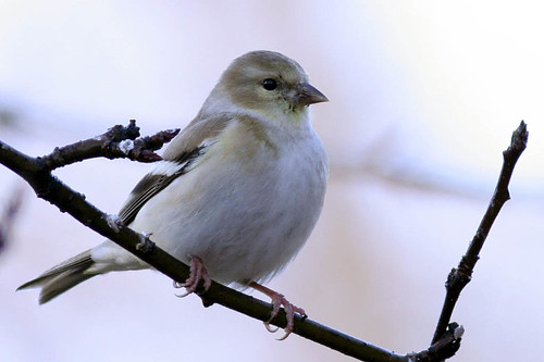 American Goldfinch (basic, non-breeding, winter plumage) | by Keith Carlson