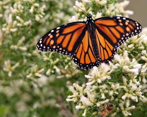 Monarch Butterfly  (Danaus plexippus) butterfly-5759-1280x1024h001 | by mikebaird