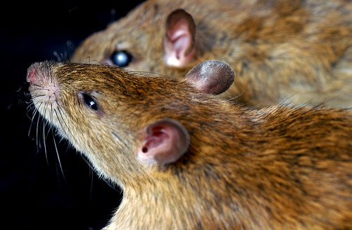 Field rats | by IRRI Images