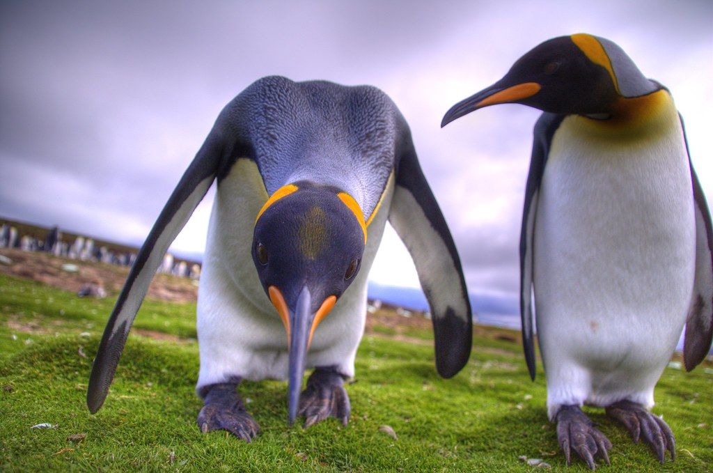 Ooh look down there - a camera! | Inquisitive king penguin..… | Flickr