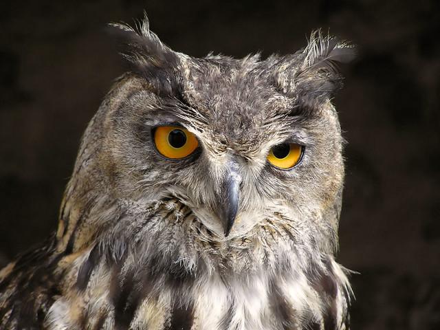 Rans Uil herkenbaar aan brede platte kop met gele ogen en oortjes