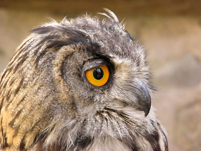 Long-eared Owl with yellow-orange eyes