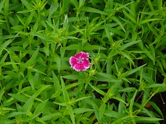 SingleFlower (Dianthus chinensis)   by inspired by you