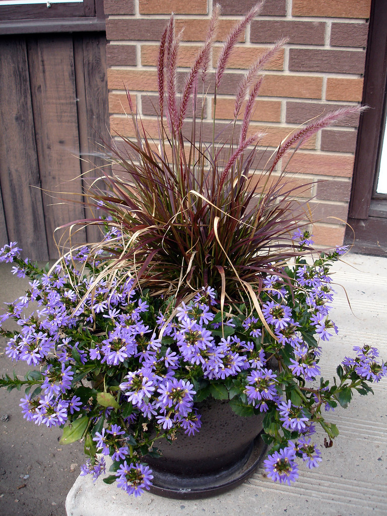 Front Step Container August The Purple Fountain Grass Di Flickr