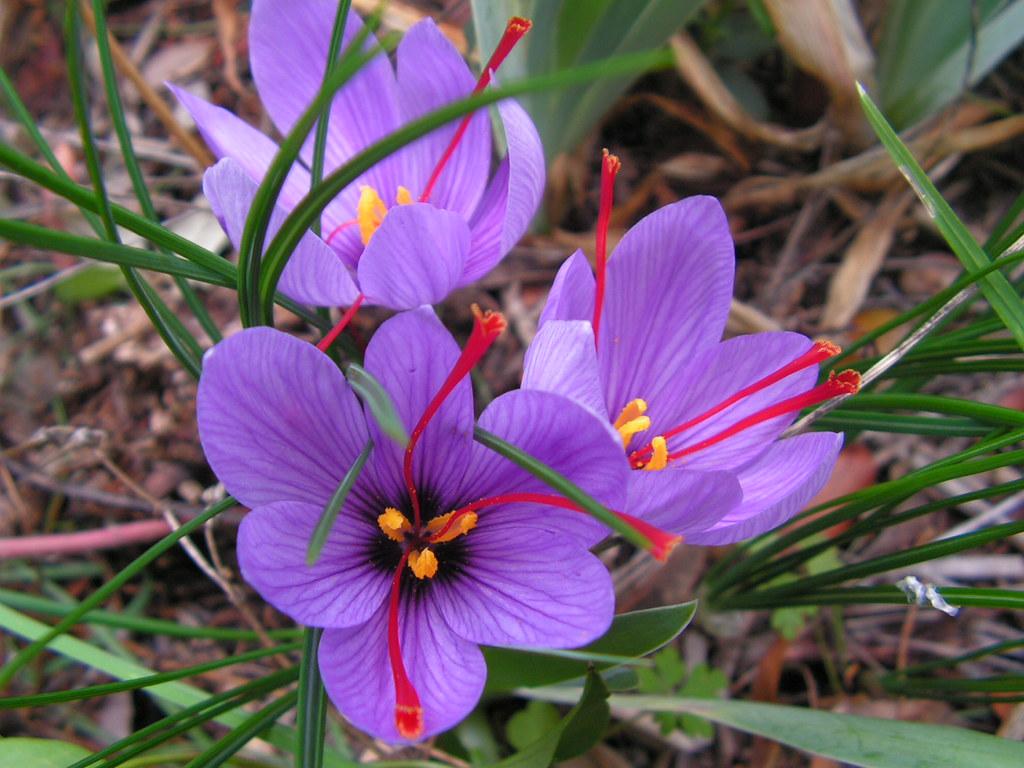 Azafrán (Crocus sativus)