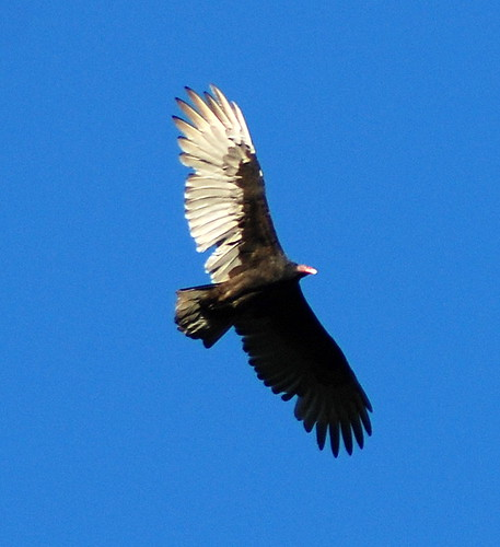 Turkey Vulture | by BobMacInnes