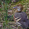 Plumed Whistling-Duck by rogersmithpix