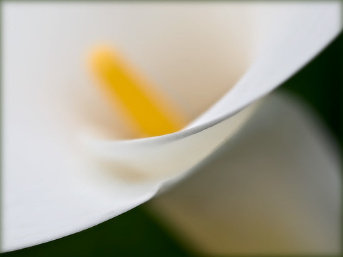 white yellow flora callalily doublefantasy petaledge