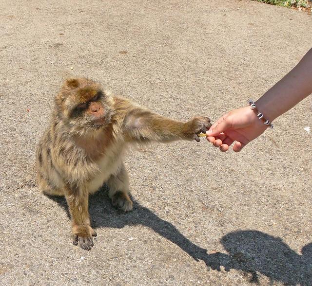 Feeding the Macaque