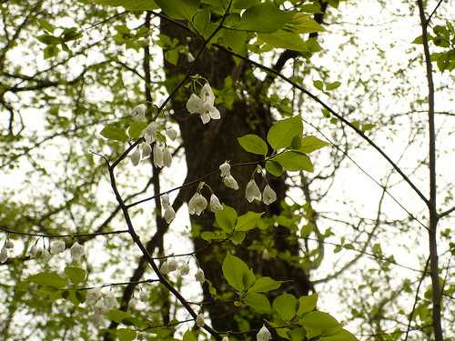 geotagged tennessee hamiltoncounty silverbell styracaceae halesia halesiatetraptera northchickamaugacreekgreenway geo:lat=351136 geo:lon=852285