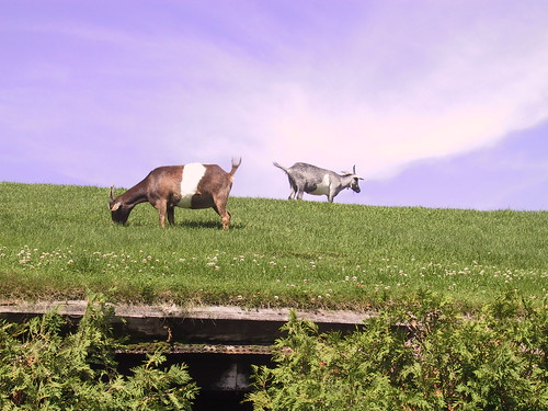 Goats on Roof | by ron.heasley