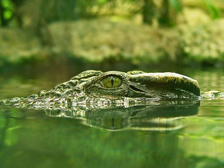 Crocodile's eye | by Tambako the Jaguar