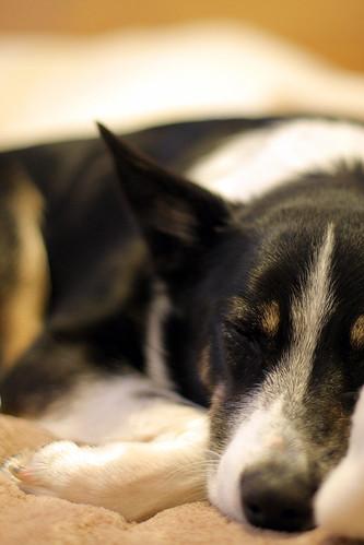 Sleepy puppy | by NathanaelBC