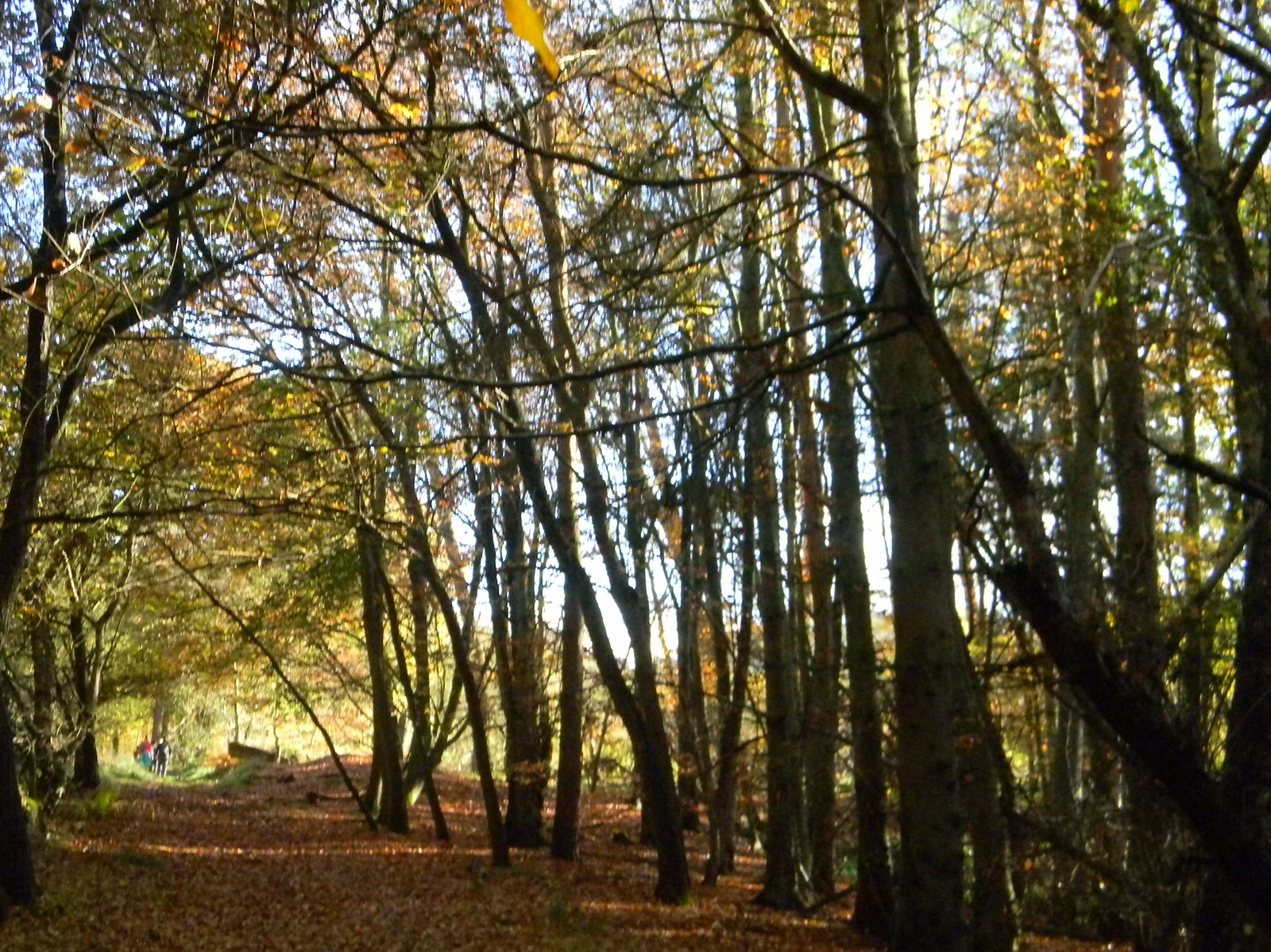 Autumn in Back Wood Bow Brickhill to Leighton Buzzard