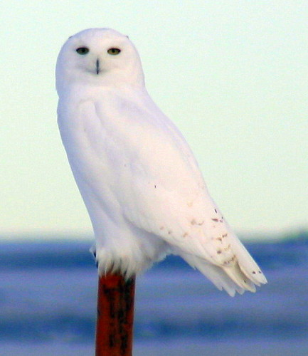 Snowy Owl | by Chris & Lara Pawluk
