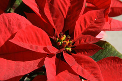 poinsettia | by CodyR