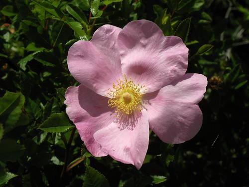 BL876 Rose | by listentoreason