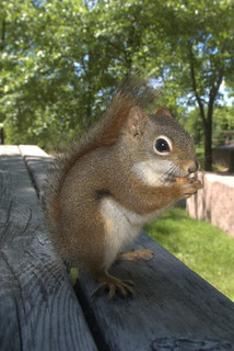 Brown Squirrel?