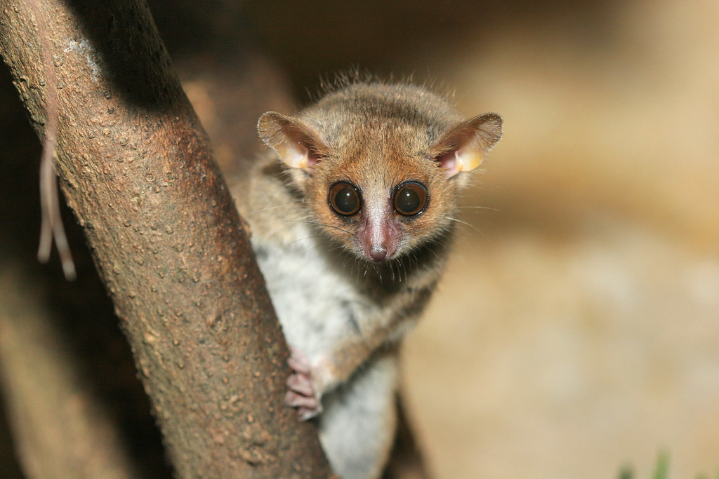 Image result for mouse lemur