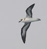 Black-capped Petrel by Glen Tepke