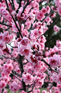 Cheery trees come with options for spring; being alive, surprise, the color pink, wet, grows in the cold, doesn't last, rooted in dirt, looks good against black, sings when the sun comes up, blossoms like mad, opens when ready, and isn't a snake | by Wonderlane