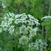 Poison Hemlock - Photo (c) Lee Jaffe, some rights reserved (CC BY-NC-SA)