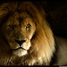 A Lion by Candlelight 1 by Dan Harrod