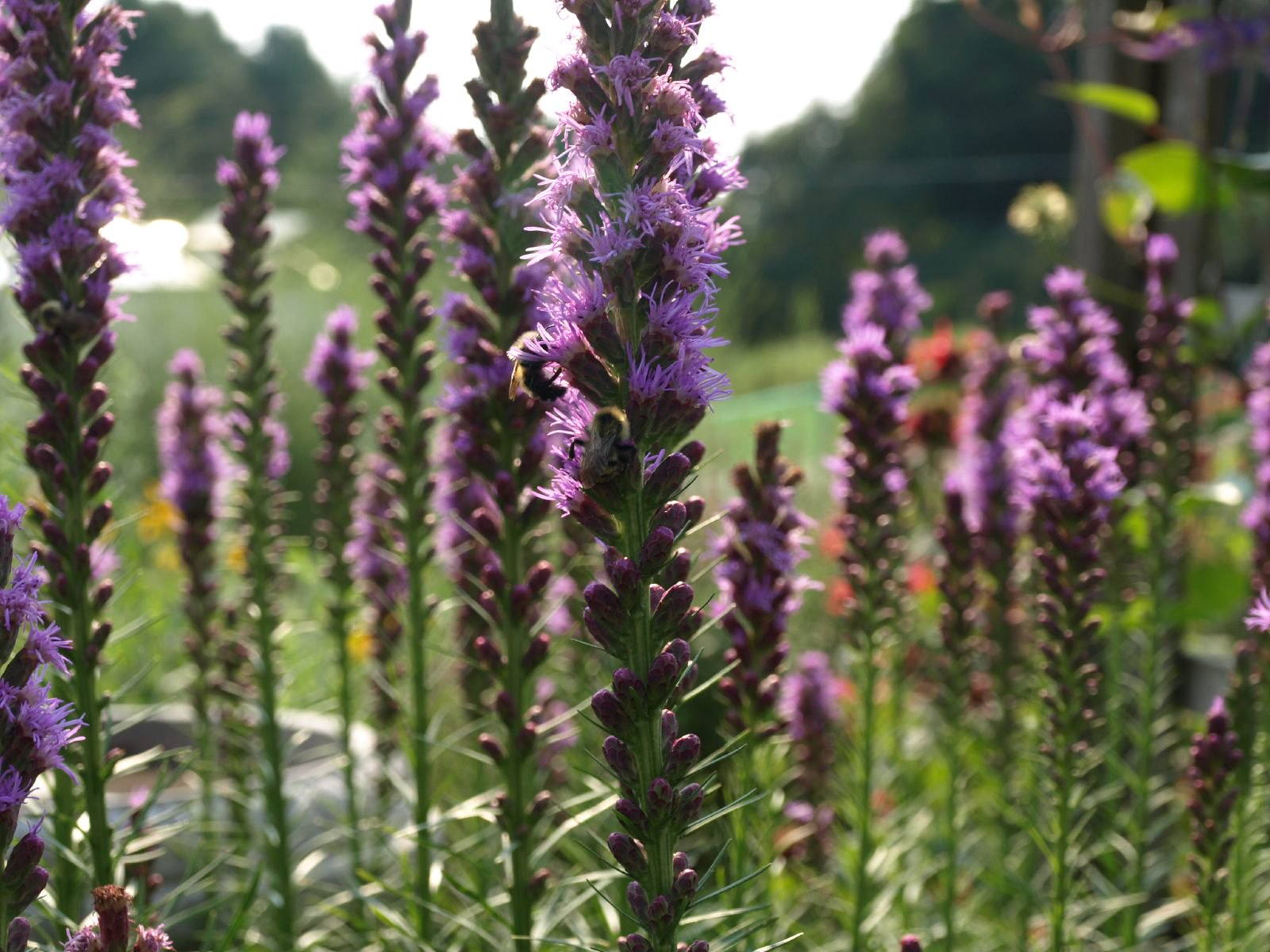 Liatris - One of the South Florida Flowers with the best colors