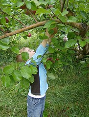 ReachingForApples | by Lyme Nursery
